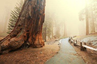 Sequoia stock vector