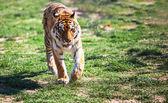 Fotografie Tiger