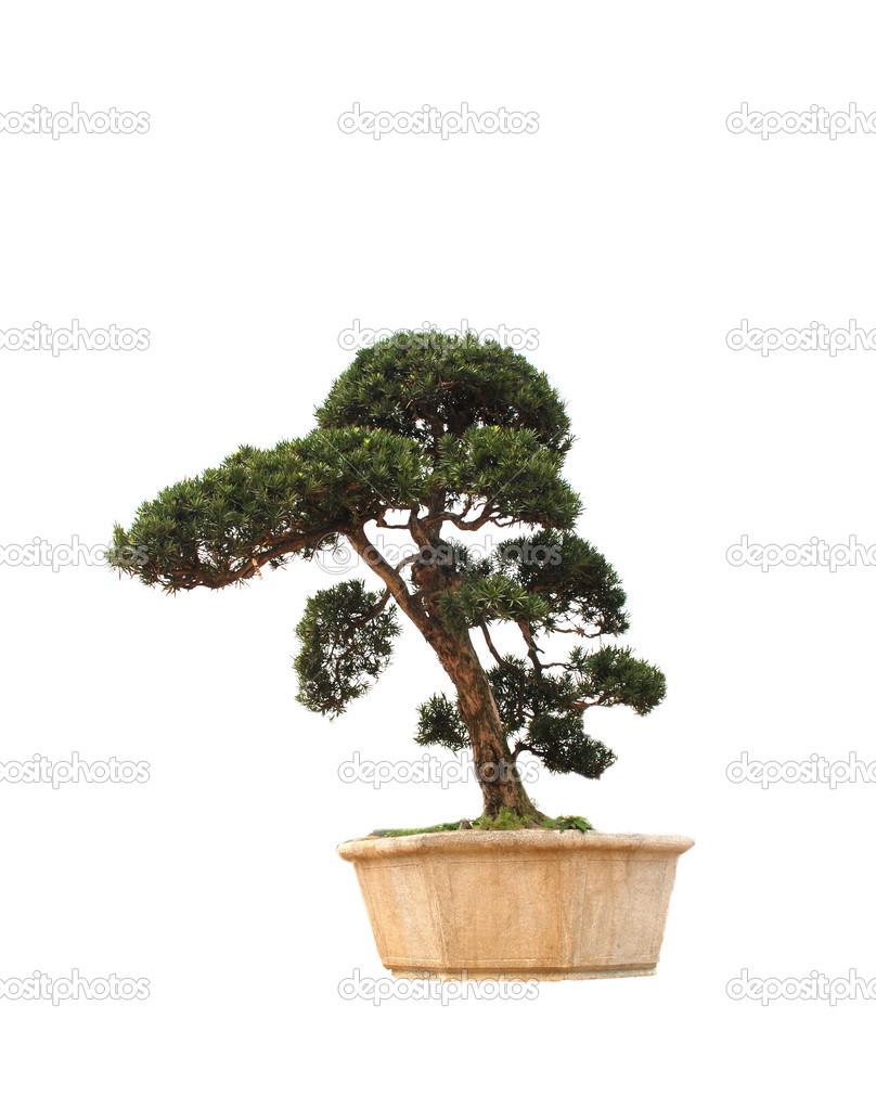The Chinese Bonsai Tree Of Banyan In A Pottery Pot Stock Photo C Donkeyru 27826675