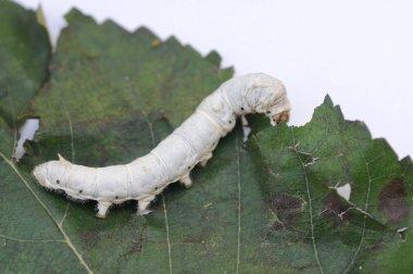 Silkworm on mulberry leaf