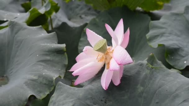 Lotosový květ a lotus květ rostliny