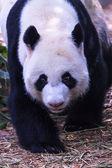 Fotografie überrascht panda