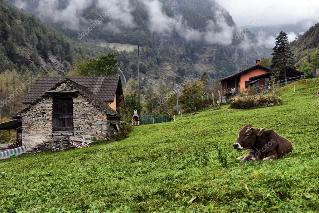 Baita Di Montagna E Mucche Al Pascolo Alpino Foto Stock