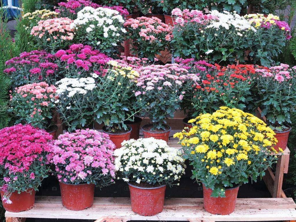 Muitas vezes flores coloridas no jardim em vasos — Fotografias de Stock  PV69
