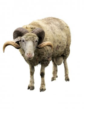 Sheep ram with horns isolated over white