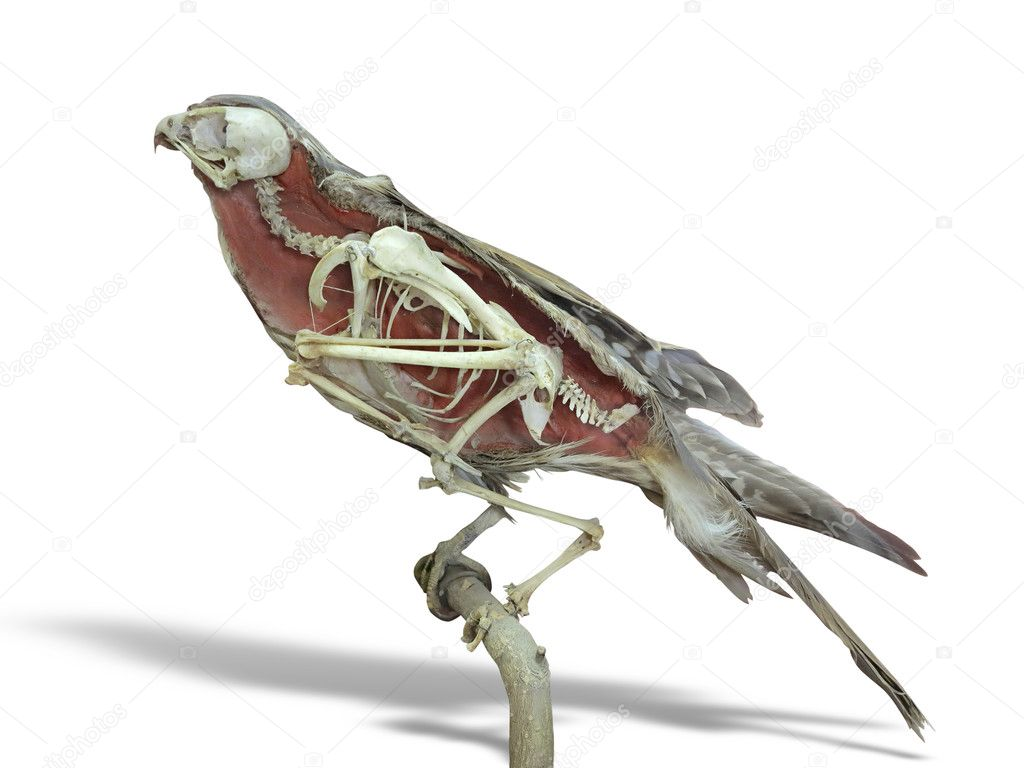 Stuffed falcon bird with skeleton inside isolated over white
