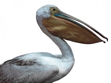 White pelican isolated over white background