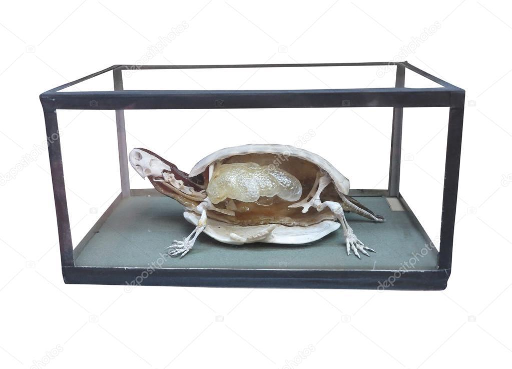 zergliederten Schildkröte mit Skelett innen isoliert weiß ...