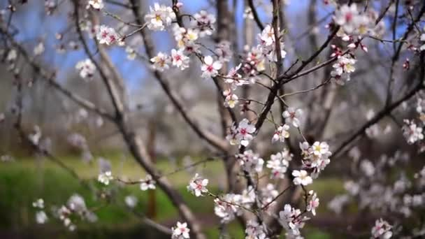 Cherry blossoms in spring, branch of cherry tree with white blossoms. Spring season.