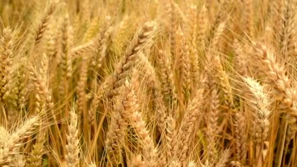 In wheat field. Ripe golden wheat straws in the wind. Agricultural harvesting season. 1920x1080, full hd footage.