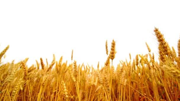búza füle fölött fehér háttér mezőgazdasági művelés alatt területén. 1920 x 1080 teljes hd felvétel.