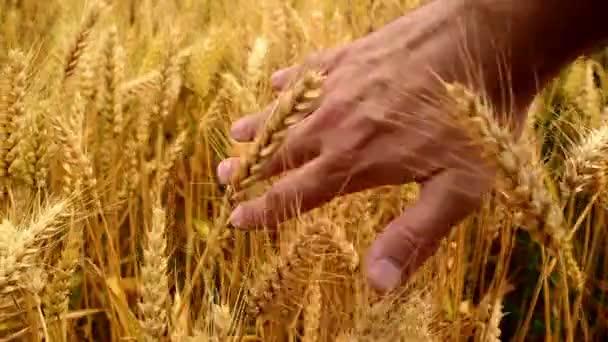 Male famer hands in wheat field. 1920x1080, full hd footage.