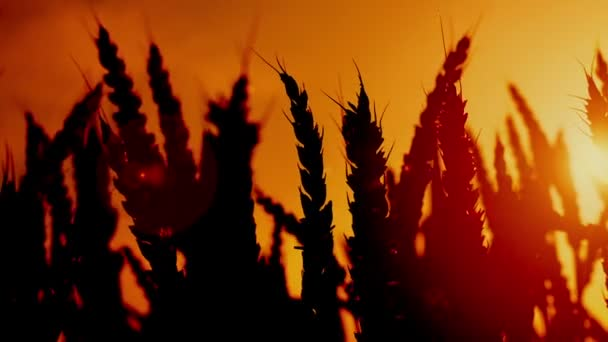 Wheat ears silhouettes in agricultural cultivated wheat field. 1920x1080, full hd footage.
