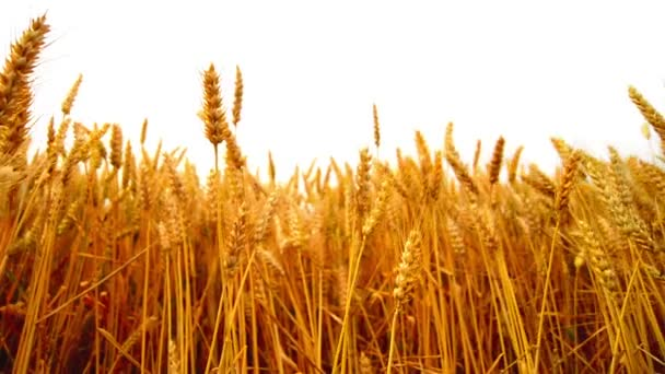 Wheat field. Golden wheat ears in agricultural cultivated field. 1920x1080, full hd footage.