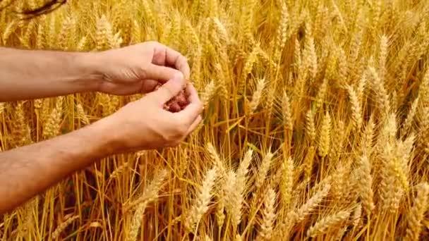 Male farmer hands in wheat field. 1920x1080, full hd footage.