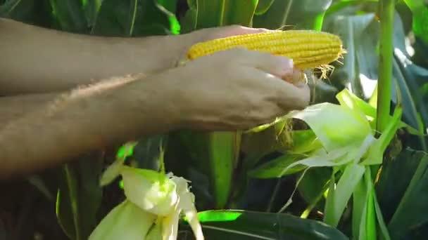 farmář v obdělávané zemědělské kukuřičném poli zkoumání mladá kukuřičné paličky před sklizní sezóny.