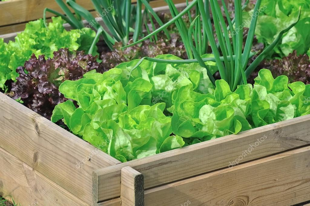 lettuce in vegetable patch