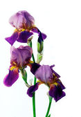 Violet flower iris