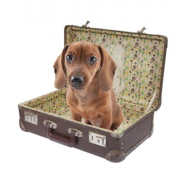 Dachshund puppy sits in vintage suitcase with clipping path