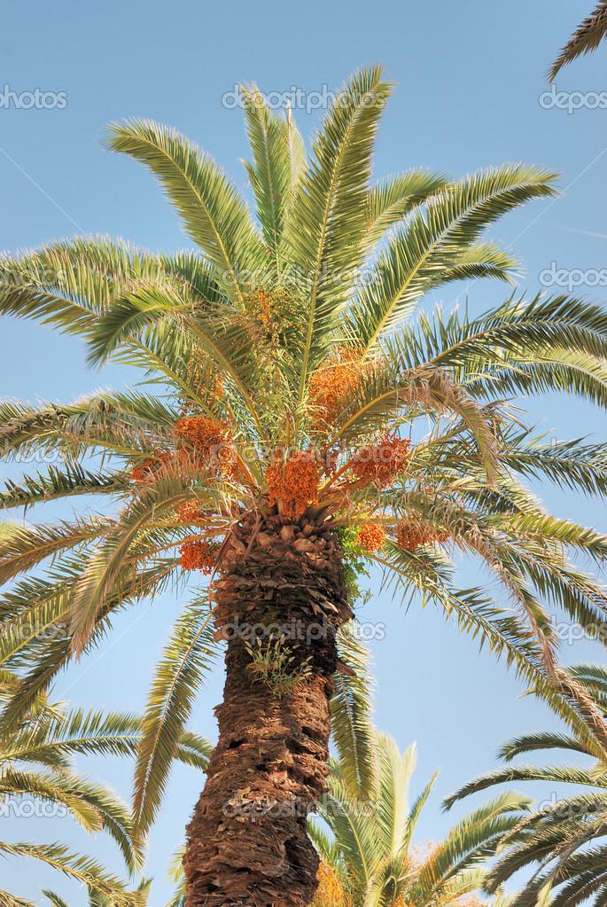 palmier 33