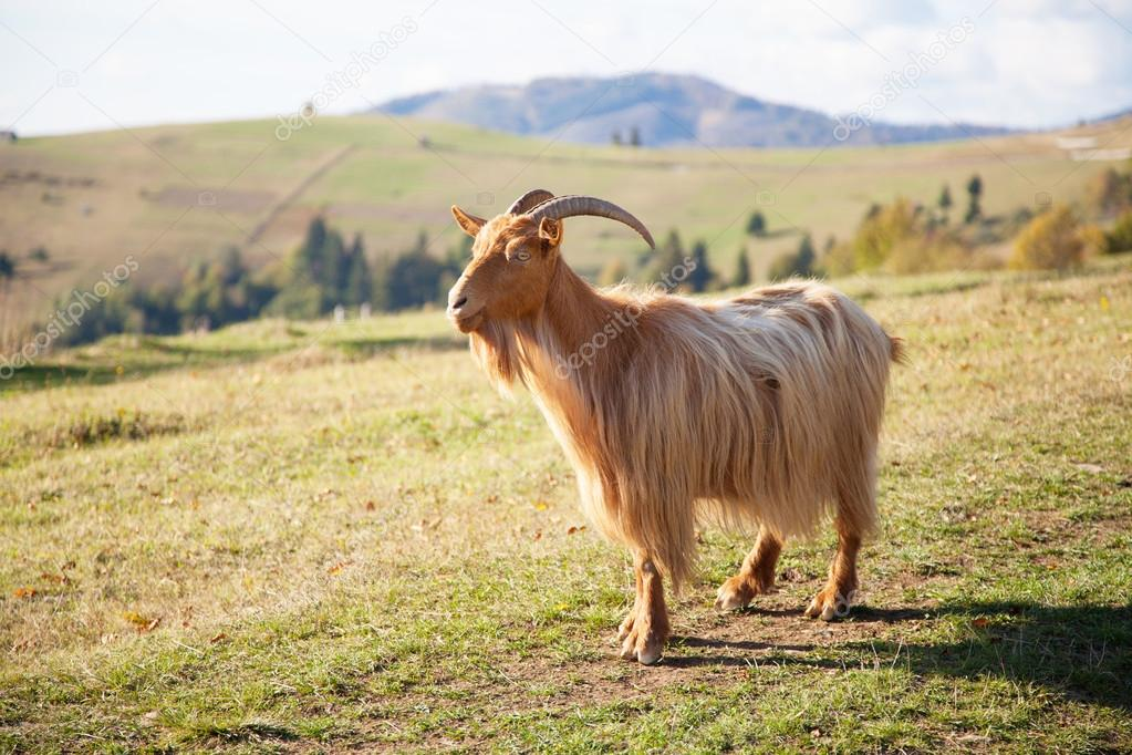 Goat walking a mountain road
