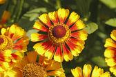Decke Blumen (Gaillardia aristata)