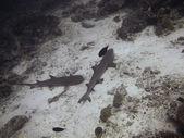 Fotografie žralok pod vodou