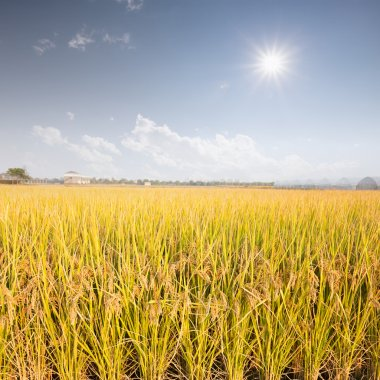 Rice field in the sunshine