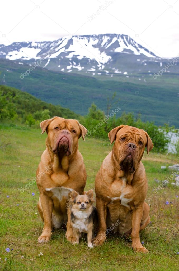 Three dogs against Norwegian landscape