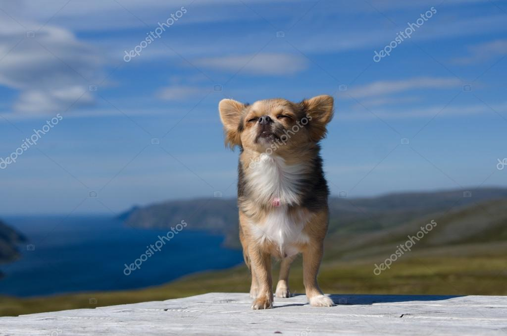 Chihuahua breathing fresh air against Scandinavian landscape