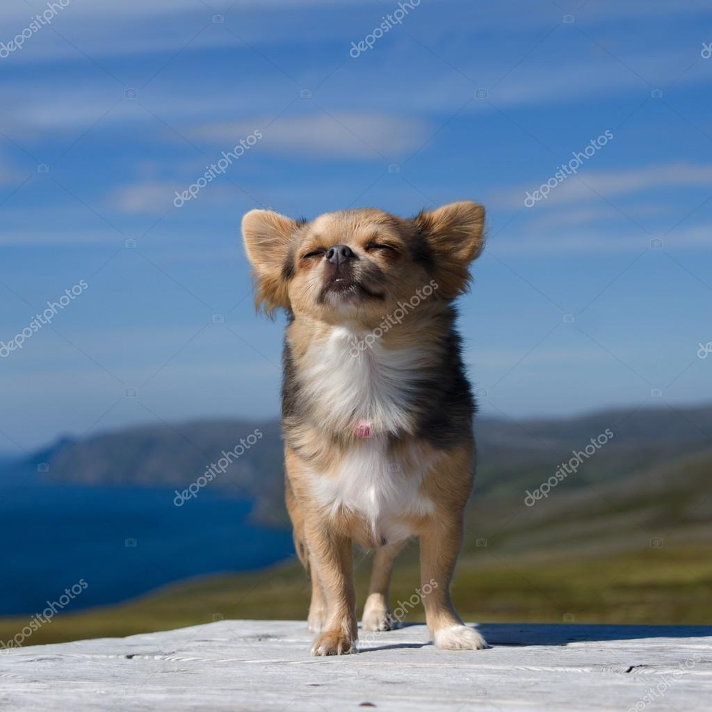 Chihuahua breathing fresh air against Northern Norway landscape