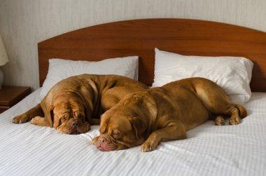 Dogue De Bordeaux couple in the bed
