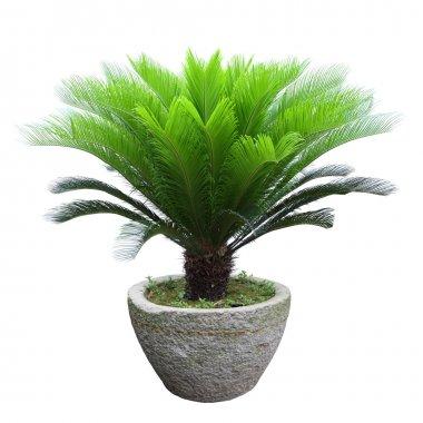 Sago cycad tree