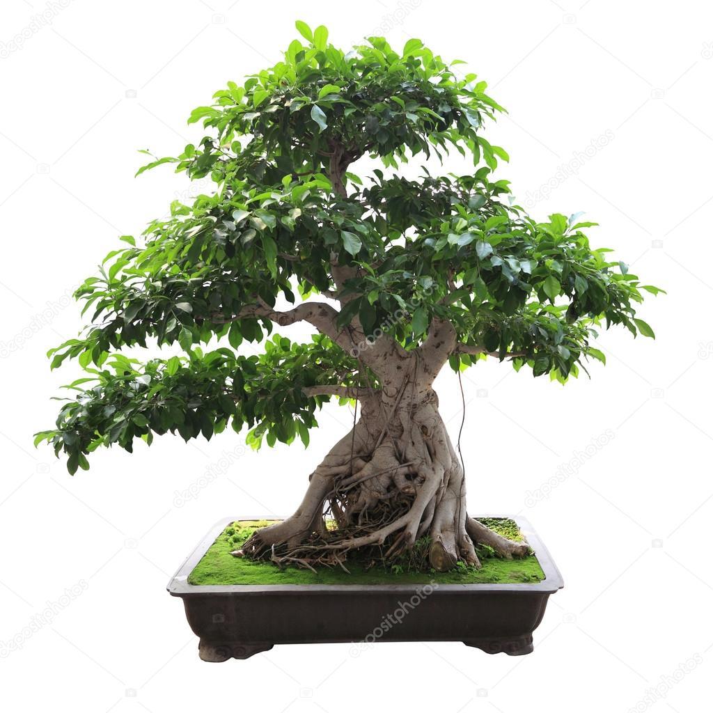 Bonsai-Banyan-Baum — Stockfoto © chungking #12771967