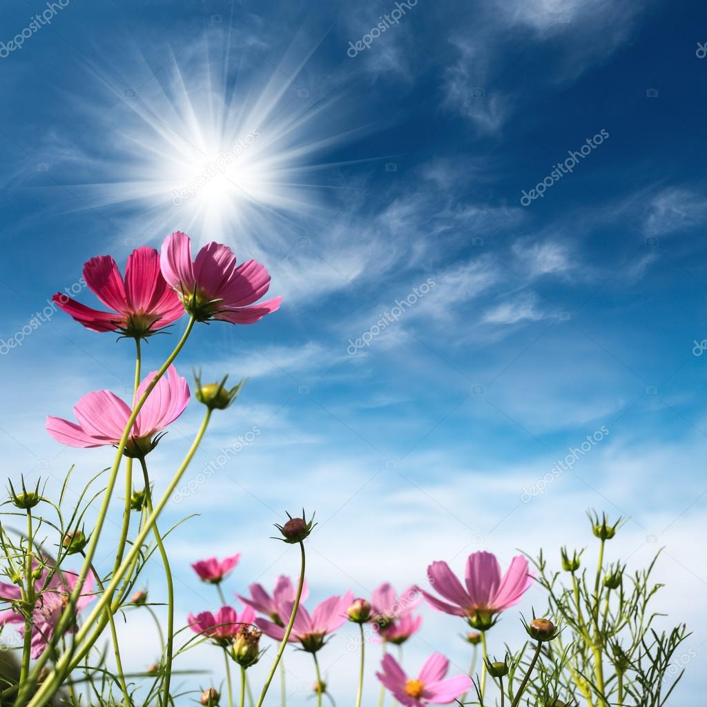Cosmos flowers under the sky