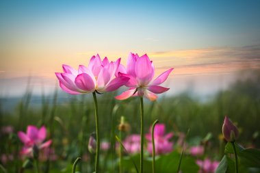 Lotus flower in sunset