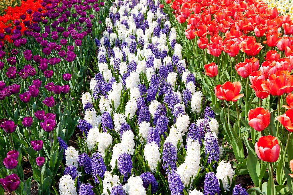 dutch bulb field with colorful tulips and hyacinth flowers u2014 stock photo