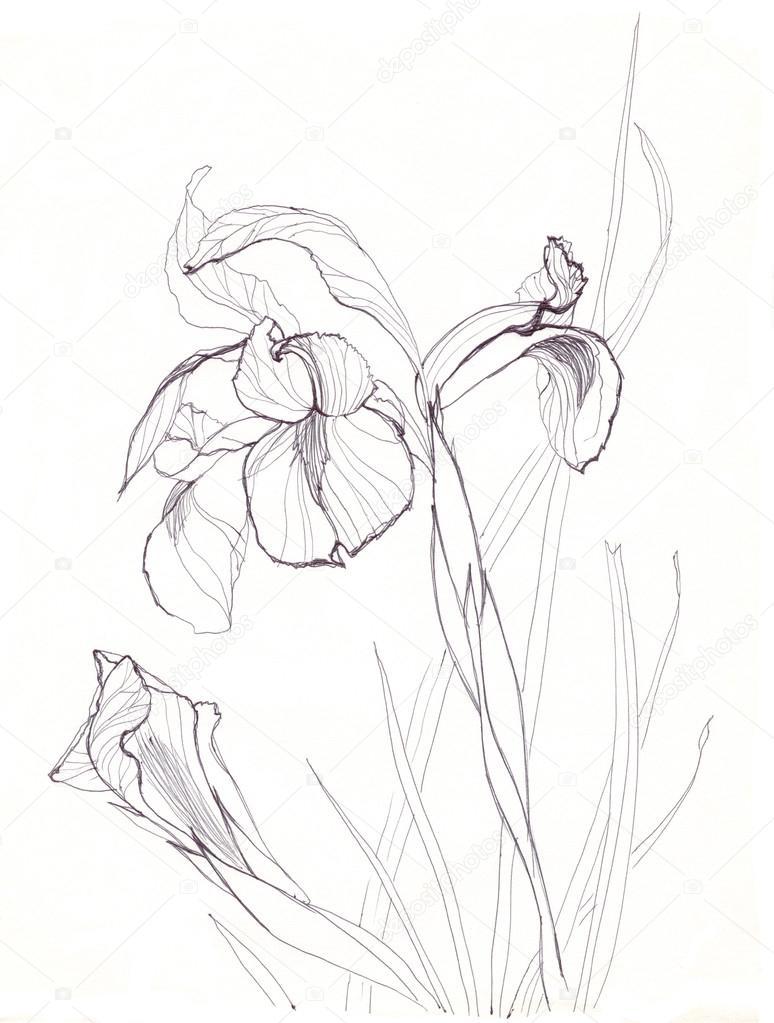 Iris flowers drawing