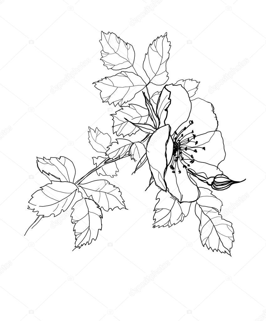 Flores Bonitas A Lapiz Dibujo A Lápiz De Rosa Vector De Stock