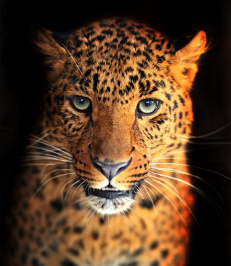 Portrait of Leopard stock vector