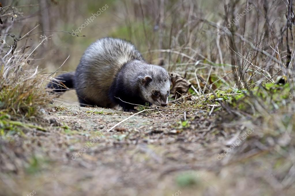 Weasel hunting for food