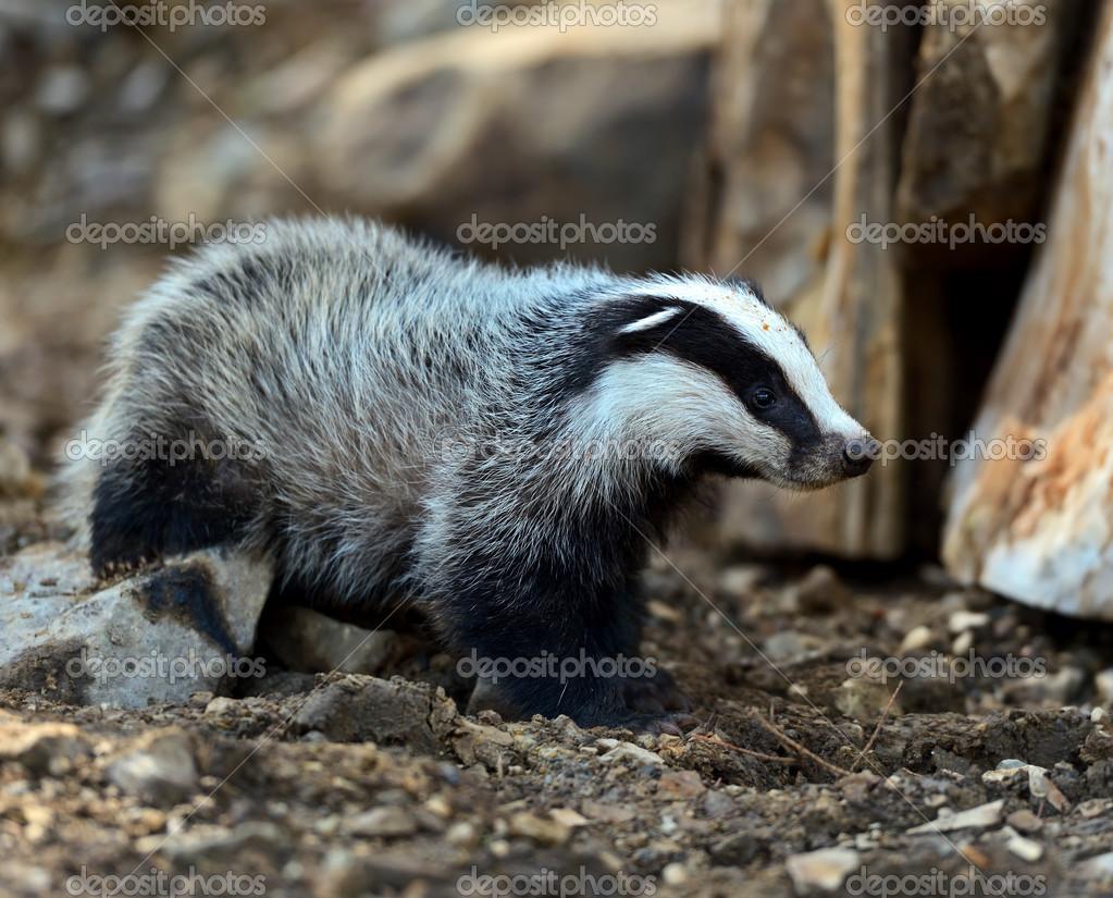 Badgers in their natural habitat