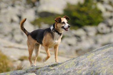 Happy dog in mountain environment