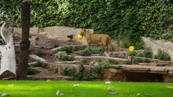 An African lioness in a zoo