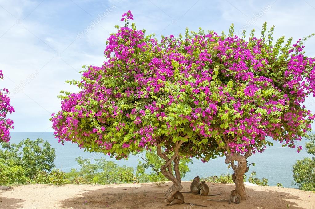 Albero di bouganville rosa 3 foto stock tonygers 23480769 for Bougainvillea bonsai prezzo