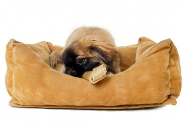 Puppy eating bone in dog bed