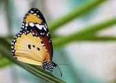 Monarch motýl