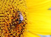 Fotografie Bienen auf Sonnenblume