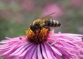 Biene auf Chrysanthemen