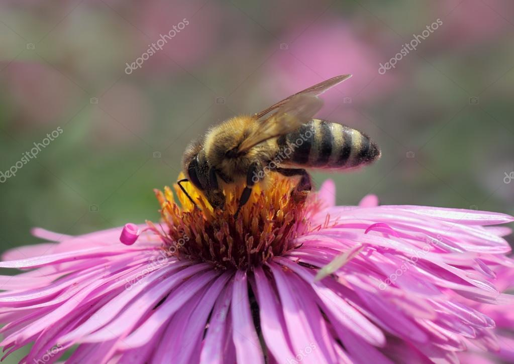 bee on chrysanthemum